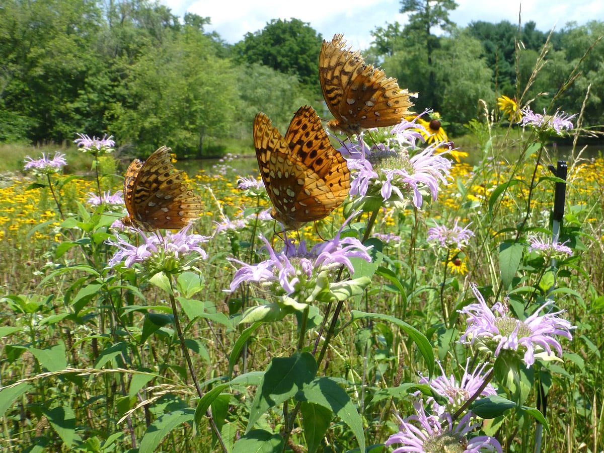 Native meadows attract pollinators such as butterflies