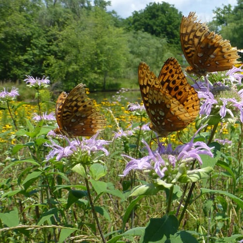 Native plants provide pollinator habitat