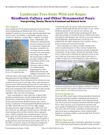 Landscape Tree Gone Wild and Rogue Bradford, Callery and Other Ornamental Pears
