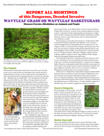 REPORT ALL SIGHTINGS of this Dangerous, Dreaded Invasive WAVYLEAF GRASS OR WAVYLEAF BASKETGRASS