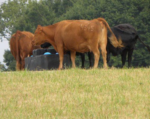 cows at water tank